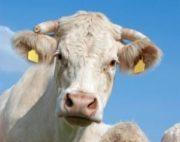 Bœuf français: Les Etats-Unis donnent le feu vert à l'exportation française