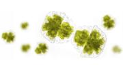 Une huile d'algues « made in France » destinée aux industriels de l'alimentaire