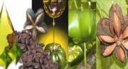 L'huile vierge Inca Inchi obtient l'alimentarité en Europe