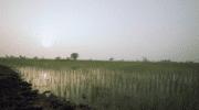 Mars Food : 100% du riz basmati Uncle Ben's respecte désormais les normes SRP