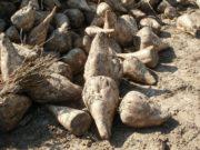 Sucre : 19 millions de tonnes de betterave seront transformées cette année chez Tereos