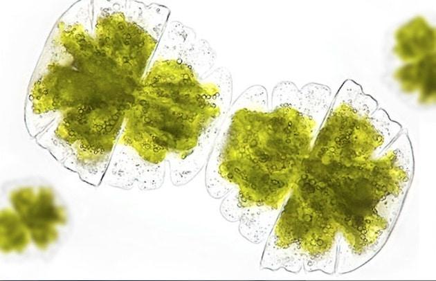 Micro-algues : Fermentalg signe avec DSM Nutritional Products