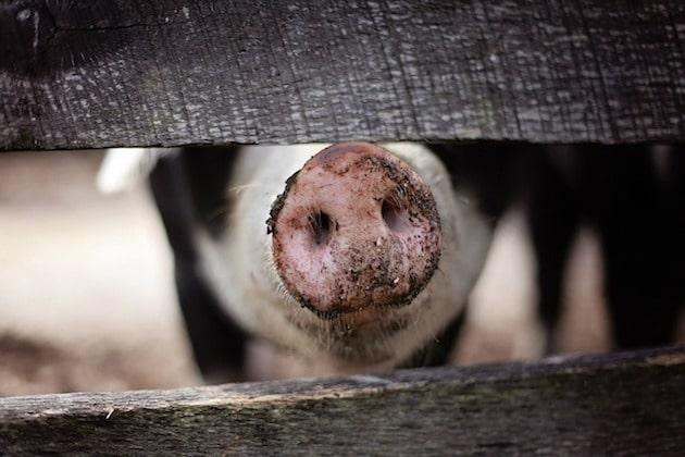 Biosécurité : Des formations pour les éleveurs de porcs