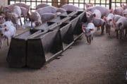 Nuwen lance un nouveau facteur de croissance naturel pour les porcs