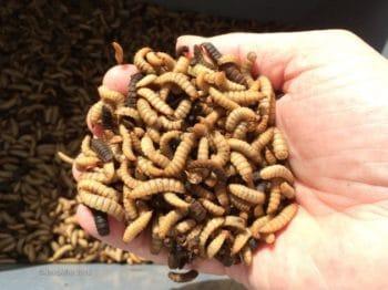 NatUp et NextAlim étudient un projet d'élevage d'insectes en Normandie