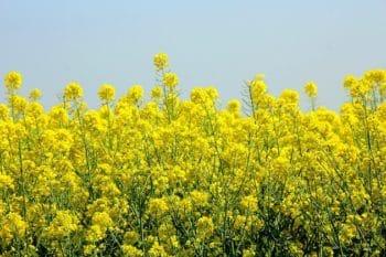 Protéines végétales : DSM et Avril vont produire une protéine unique issue de colza non OGM