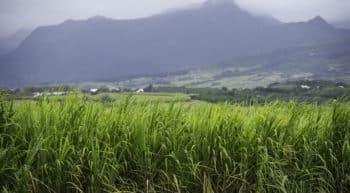 Création de la 1ère filière réunionnaise de sucre de canne bio
