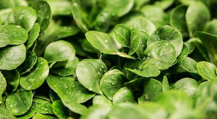 Le SVFPE vise 75% de salades prêtes à l'emploi cultivées en France
