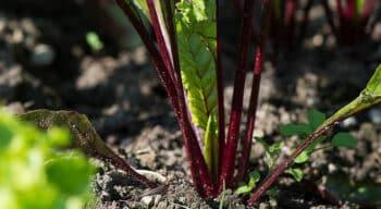 Cristal Union veut renforcer sa production de bio autour d'Erstein