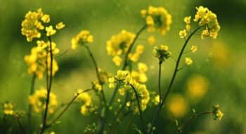 Avril et le fonds SPI investissent 45 M€ pour développer une nouvelle filière de protéines végétales de colza