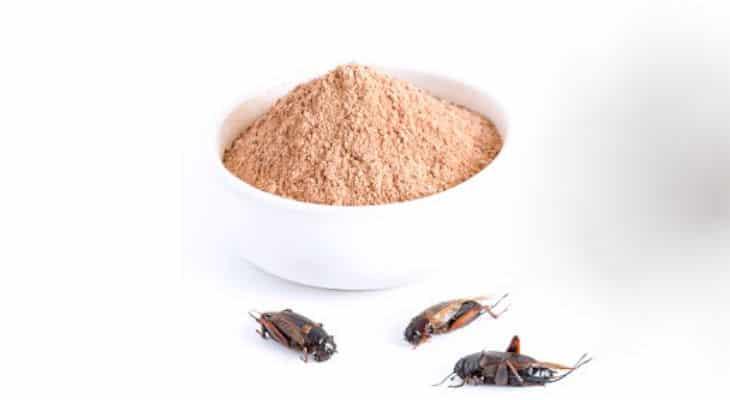 Poudres durables : Comme alternative à la protéine de lactosérum, Gymsect propose la protéine de grillons